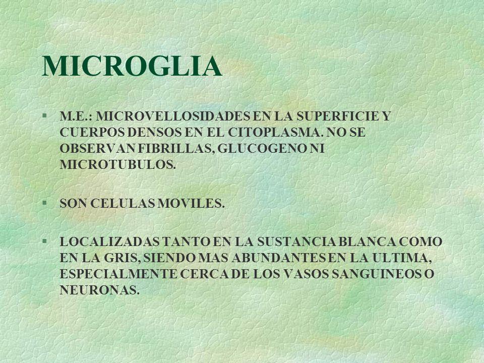 MICROGLIA M.E.: MICROVELLOSIDADES EN LA SUPERFICIE Y CUERPOS DENSOS EN EL CITOPLASMA. NO SE OBSERVAN FIBRILLAS, GLUCOGENO NI MICROTUBULOS.