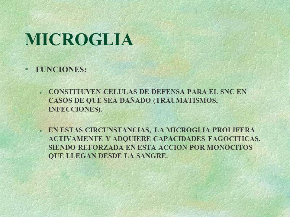 MICROGLIA FUNCIONES: CONSTITUYEN CELULAS DE DEFENSA PARA EL SNC EN CASOS DE QUE SEA DAÑADO (TRAUMATISMOS, INFECCIONES).