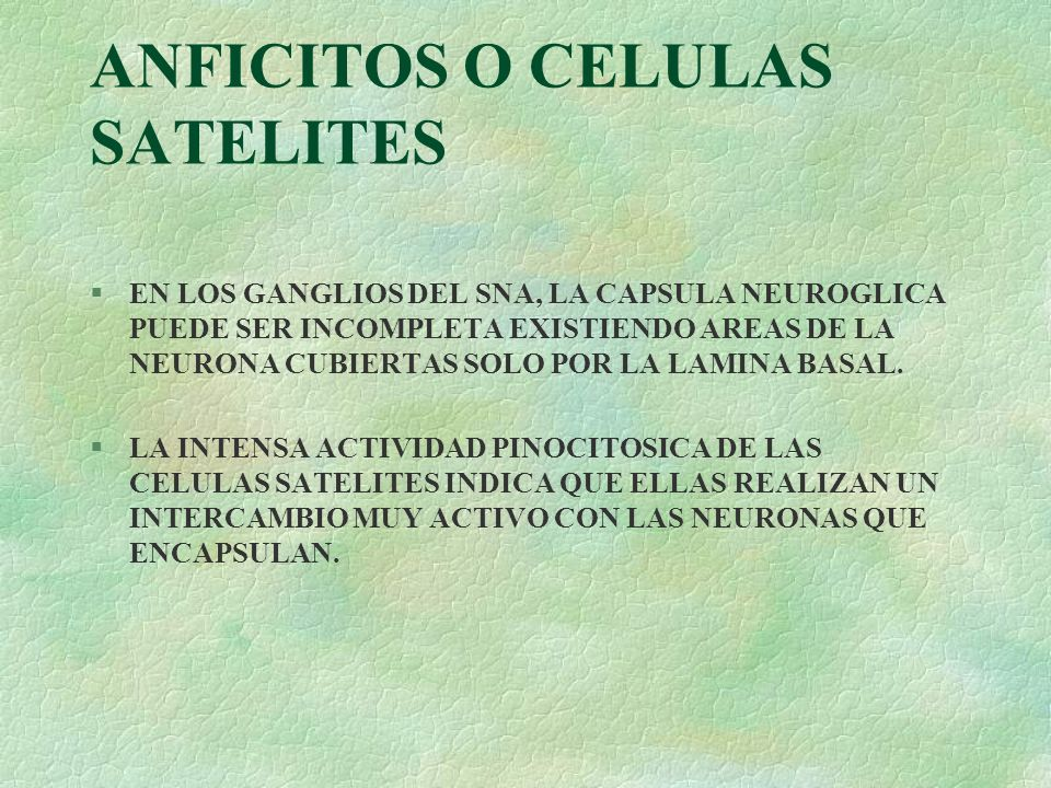 ANFICITOS O CELULAS SATELITES