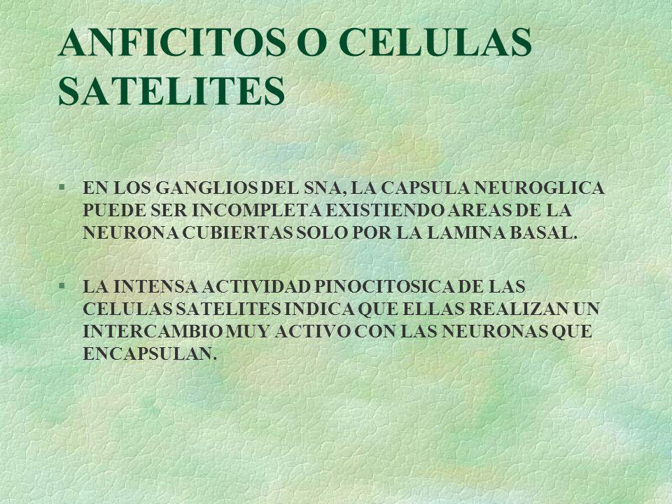 ANFICITOS O CELULAS SATELITES