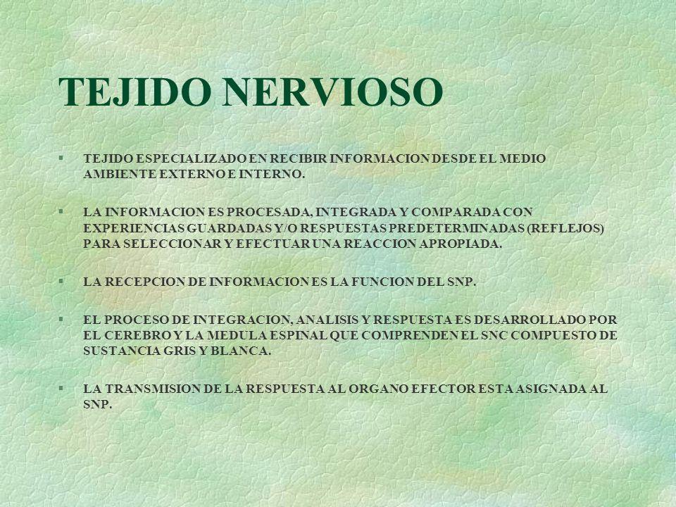 TEJIDO NERVIOSO TEJIDO ESPECIALIZADO EN RECIBIR INFORMACION DESDE EL MEDIO AMBIENTE EXTERNO E INTERNO.