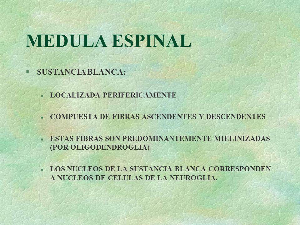MEDULA ESPINAL SUSTANCIA BLANCA: LOCALIZADA PERIFERICAMENTE