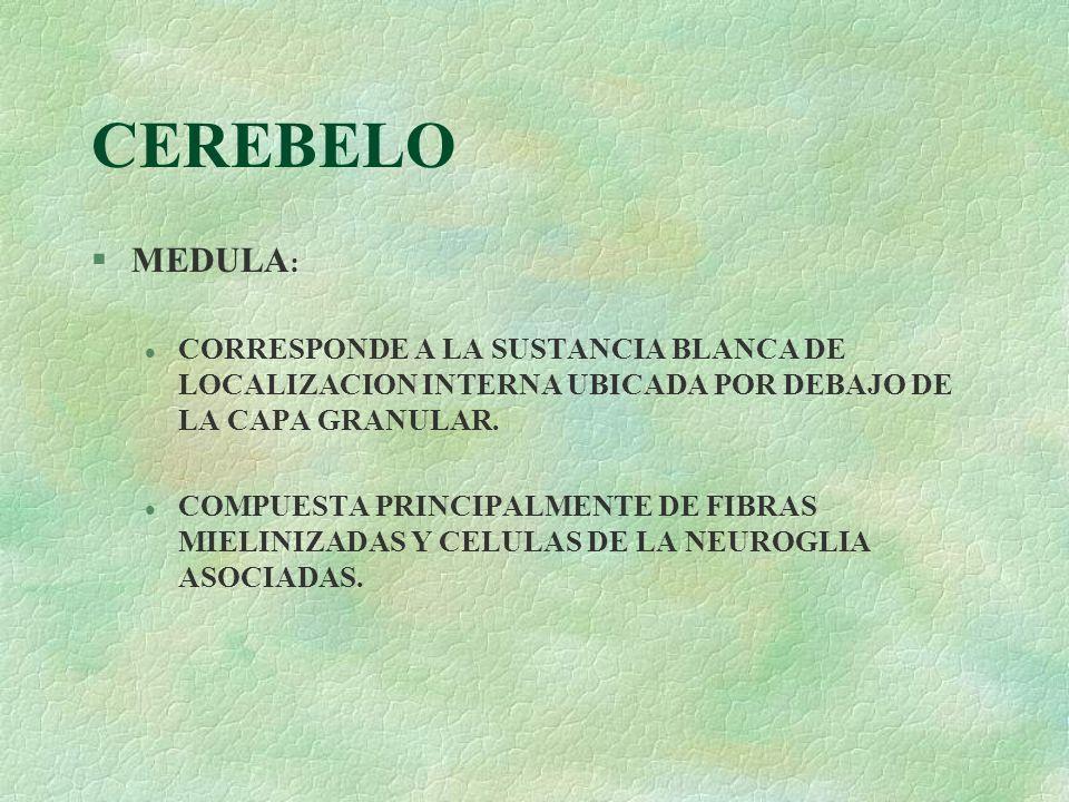 CEREBELO MEDULA: CORRESPONDE A LA SUSTANCIA BLANCA DE LOCALIZACION INTERNA UBICADA POR DEBAJO DE LA CAPA GRANULAR.