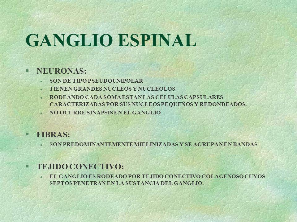 GANGLIO ESPINAL NEURONAS: FIBRAS: TEJIDO CONECTIVO: