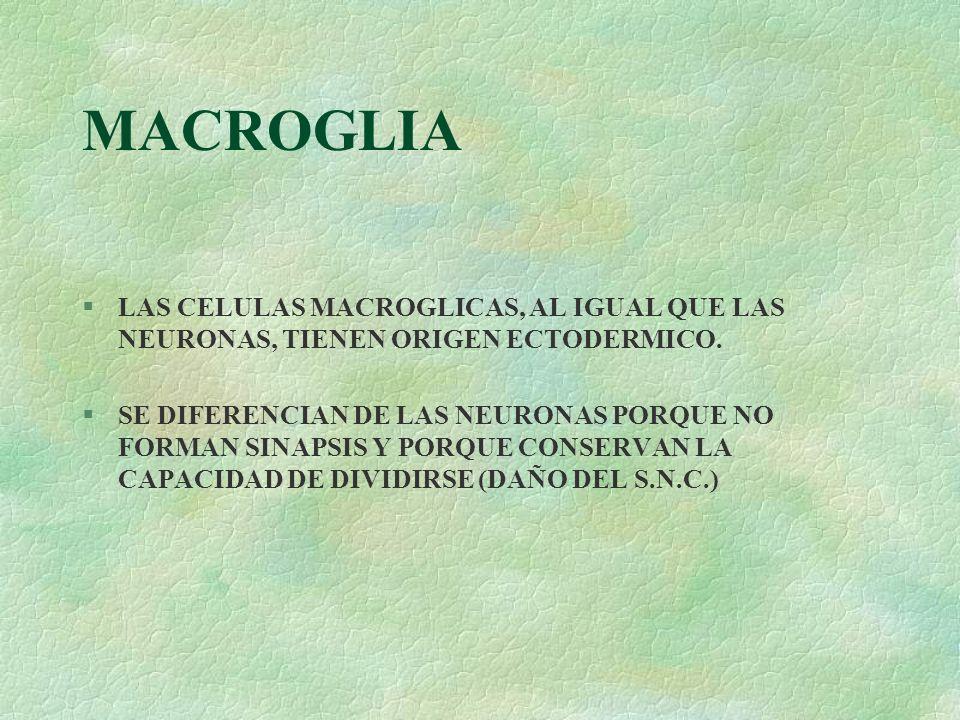 MACROGLIALAS CELULAS MACROGLICAS, AL IGUAL QUE LAS NEURONAS, TIENEN ORIGEN ECTODERMICO.