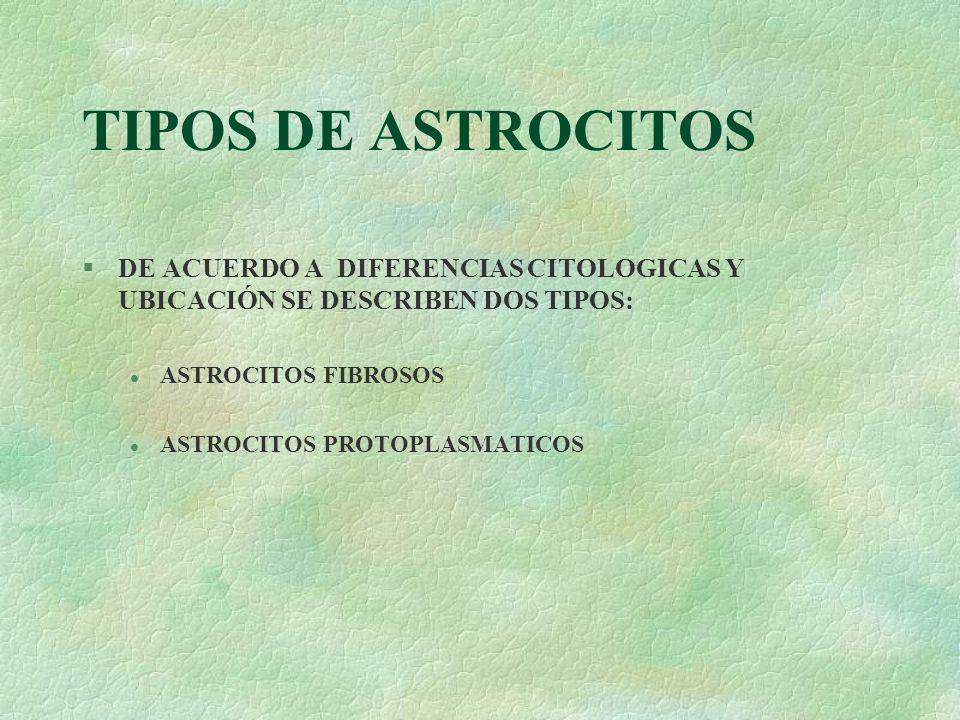 TIPOS DE ASTROCITOS DE ACUERDO A DIFERENCIAS CITOLOGICAS Y UBICACIÓN SE DESCRIBEN DOS TIPOS: ASTROCITOS FIBROSOS.