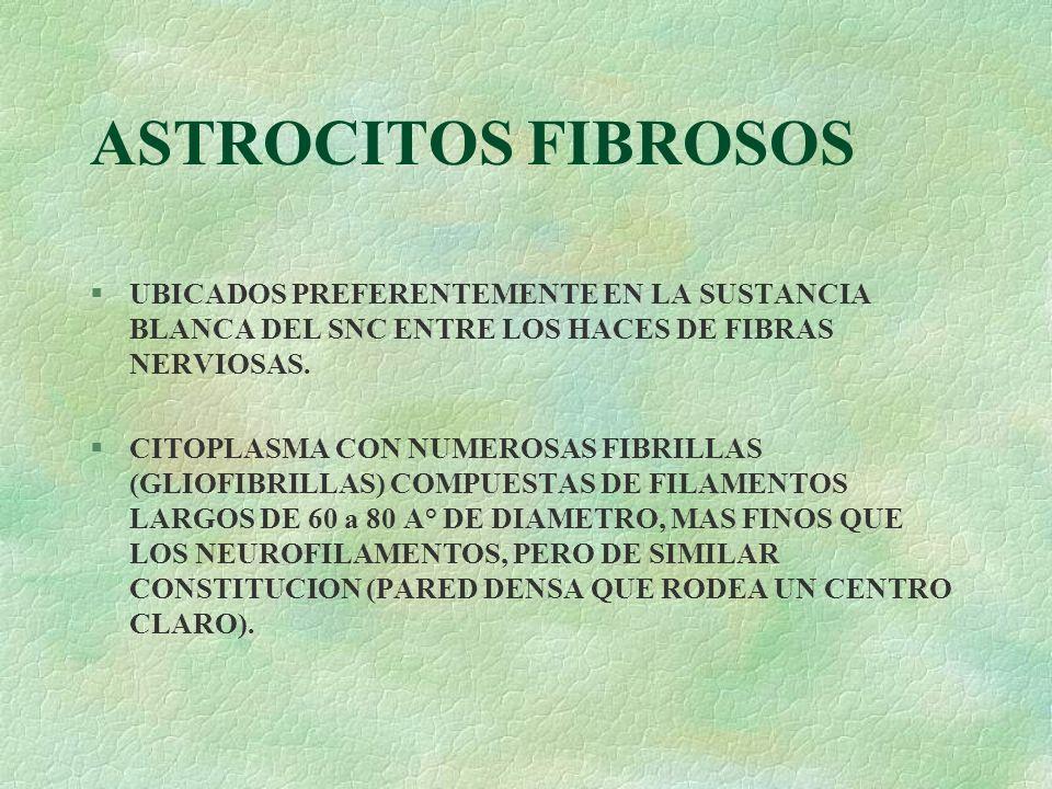 ASTROCITOS FIBROSOSUBICADOS PREFERENTEMENTE EN LA SUSTANCIA BLANCA DEL SNC ENTRE LOS HACES DE FIBRAS NERVIOSAS.