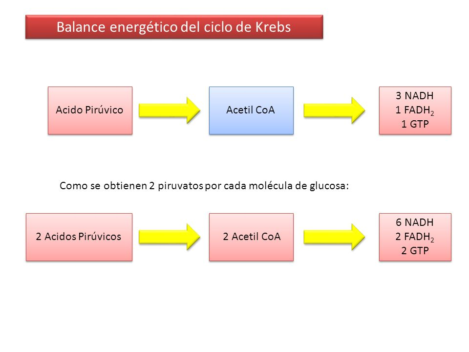 Balance energético del ciclo de Krebs