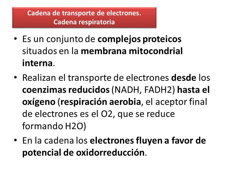 Cadena de transporte de electrones. Cadena respiratoria