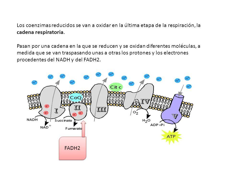 Los coenzimas reducidos se van a oxidar en la última etapa de la respiración, la cadena respiratoria.