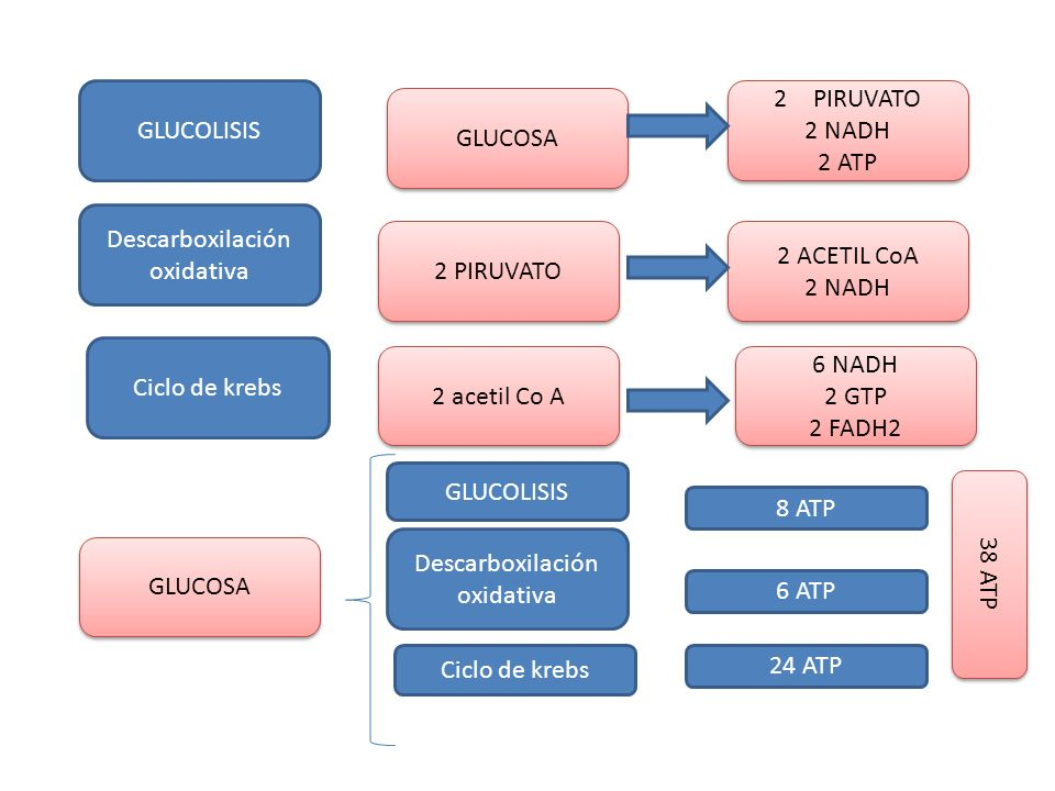 Descarboxilación oxidativa 2 PIRUVATO 2 ACETIL CoA 2 NADH