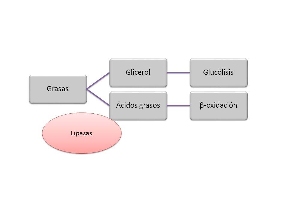 Grasas Glicerol Glucólisis Ácidos grasos -oxidación Lipasas
