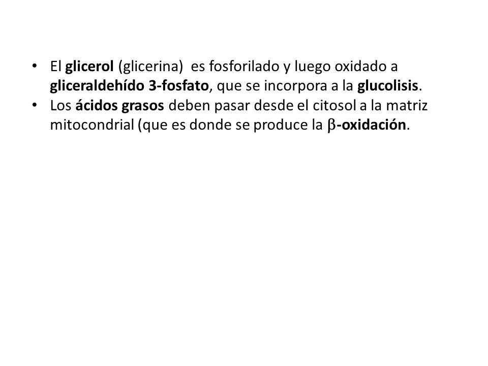 El glicerol (glicerina) es fosforilado y luego oxidado a gliceraldehído 3-fosfato, que se incorpora a la glucolisis.