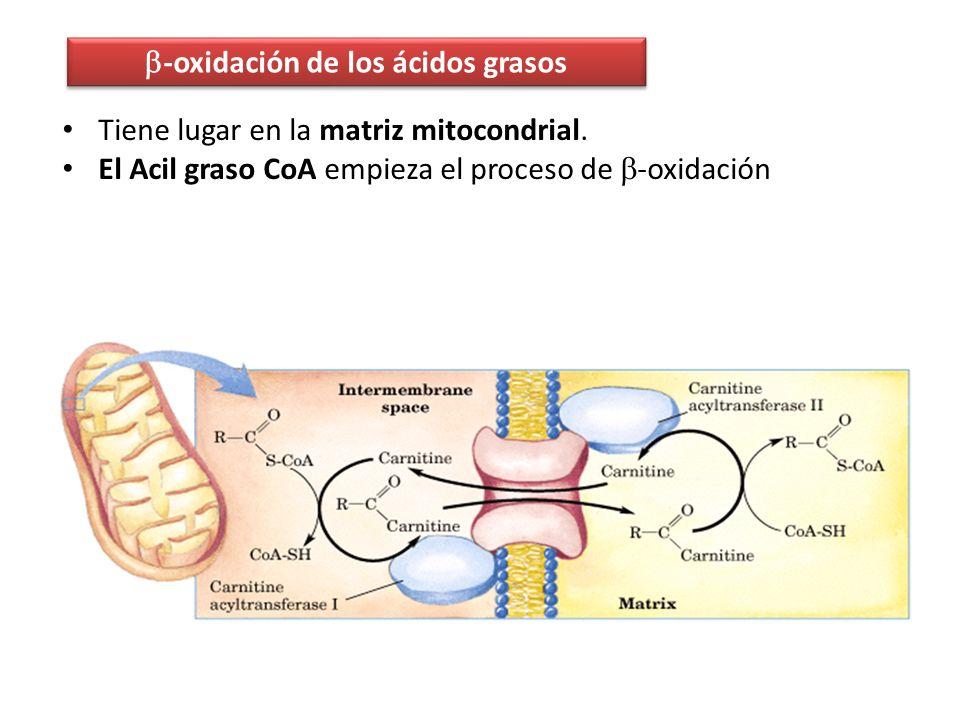 -oxidación de los ácidos grasos