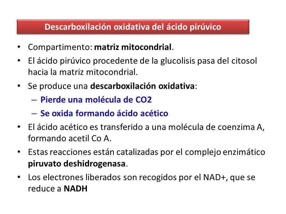 Descarboxilación oxidativa del ácido pirúvico
