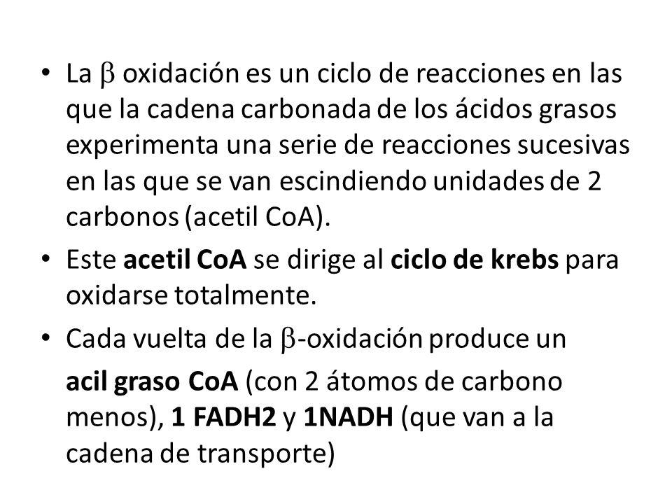 La b oxidación es un ciclo de reacciones en las que la cadena carbonada de los ácidos grasos experimenta una serie de reacciones sucesivas en las que se van escindiendo unidades de 2 carbonos (acetil CoA).