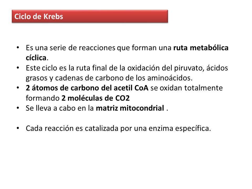 Ciclo de Krebs Es una serie de reacciones que forman una ruta metabólica cíclica.
