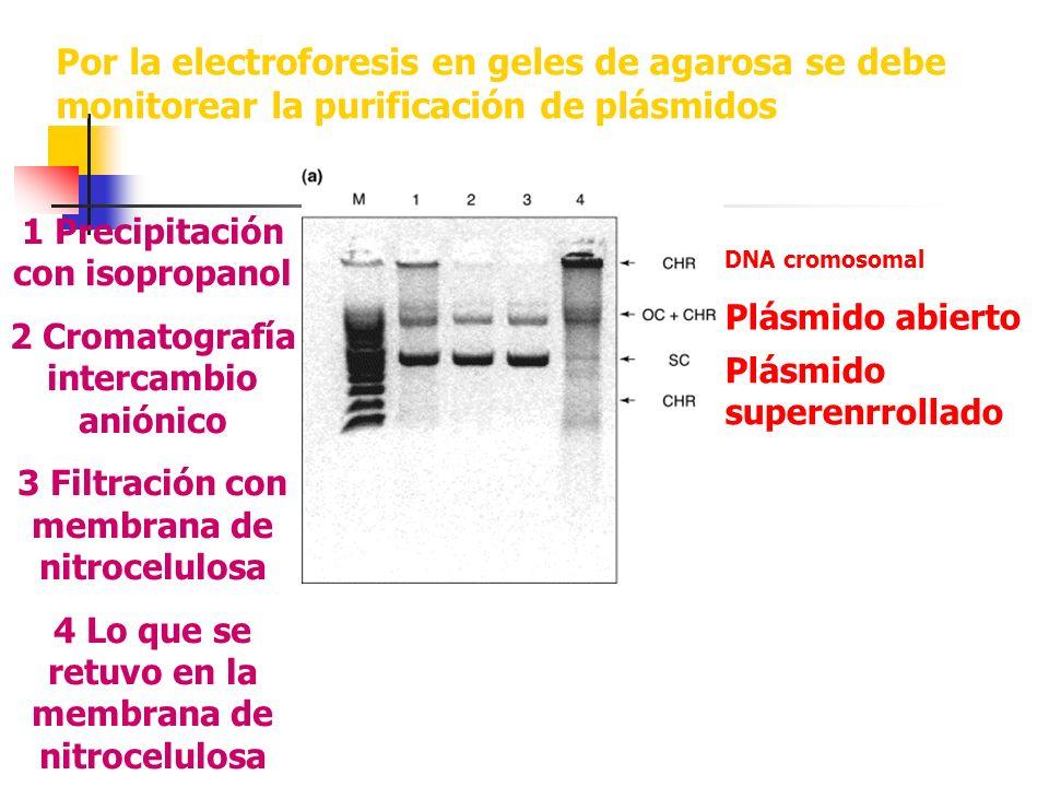 Por la electroforesis en geles de agarosa se debe monitorear la purificación de plásmidos
