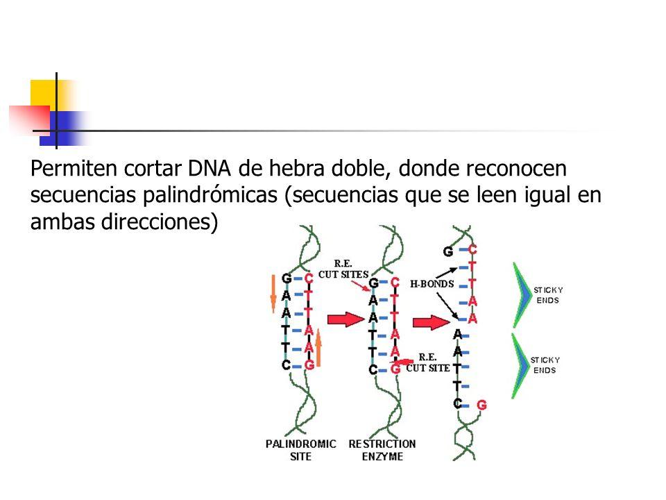 Permiten cortar DNA de hebra doble, donde reconocen secuencias palindrómicas (secuencias que se leen igual en ambas direcciones)