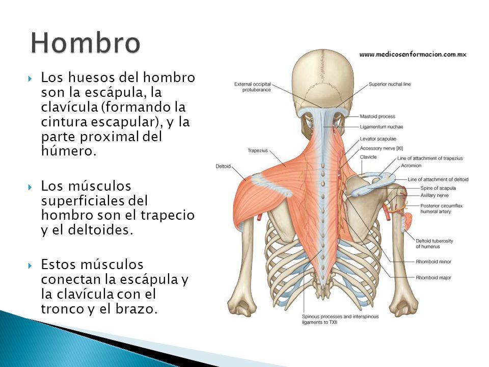 Dorable Huesos Del Hombro Motivo - Imágenes de Anatomía Humana ...