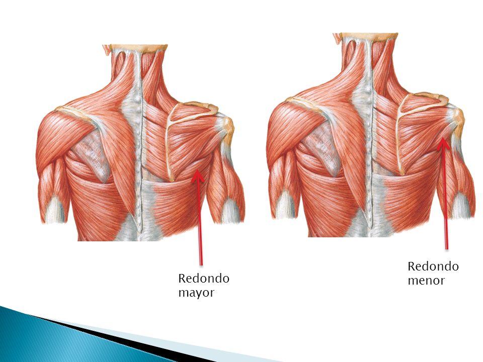 Único Redondo Mayor Ornamento - Anatomía de Las Imágenesdel Cuerpo ...