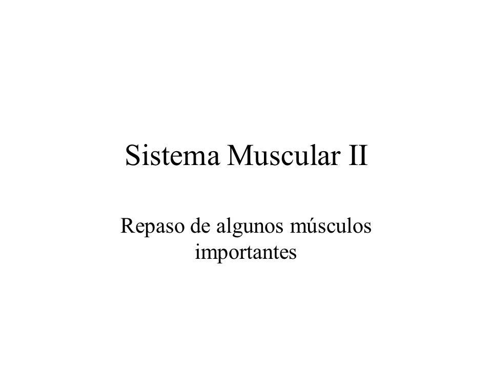 Repaso de algunos músculos importantes