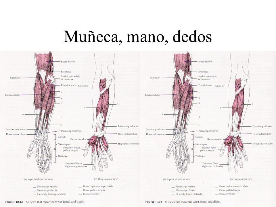 Muñeca, mano, dedos