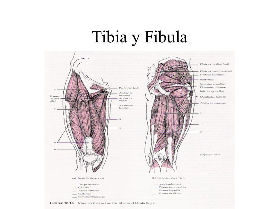 Tibia y Fibula