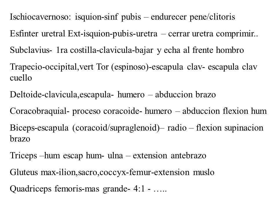 Ischiocavernoso: isquion-sinf pubis – endurecer pene/clitoris