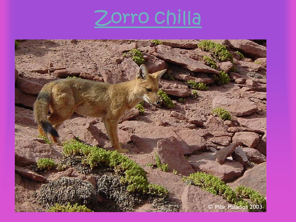 Zorro chilla