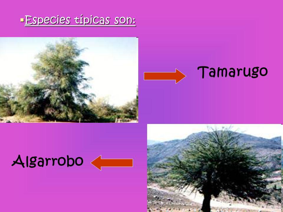 Especies típicas son: Tamarugo Algarrobo