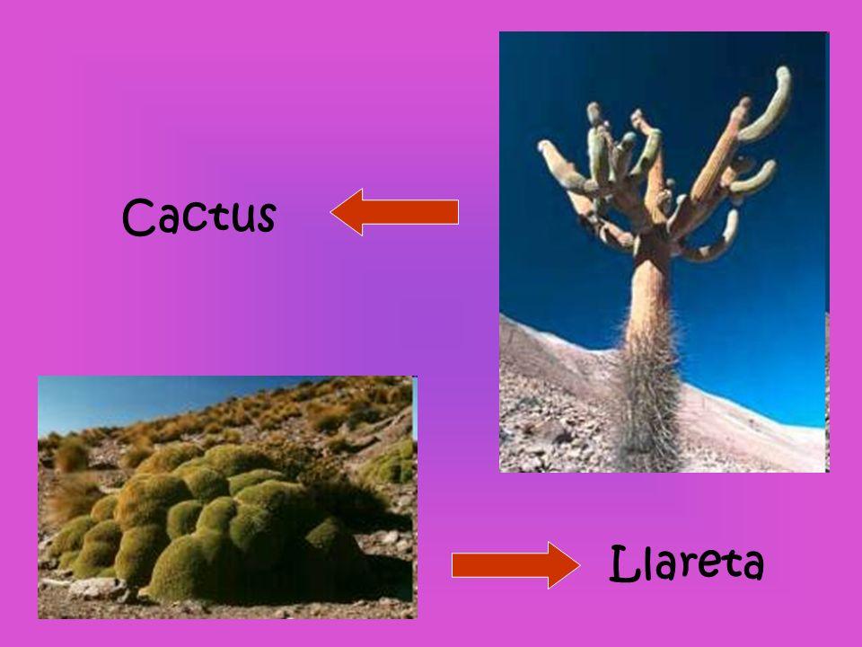 Cactus Llareta