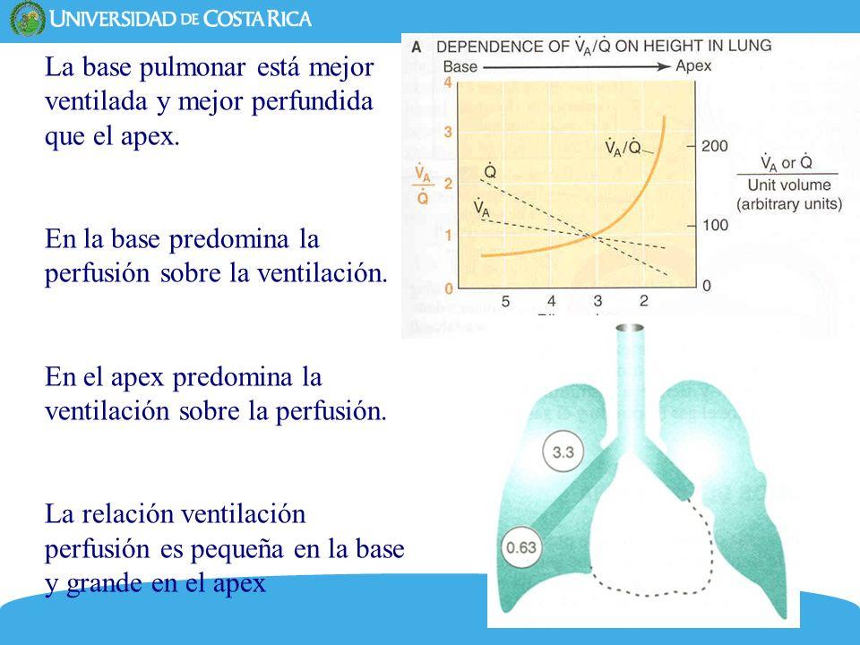 La base pulmonar está mejor ventilada y mejor perfundida que el apex.