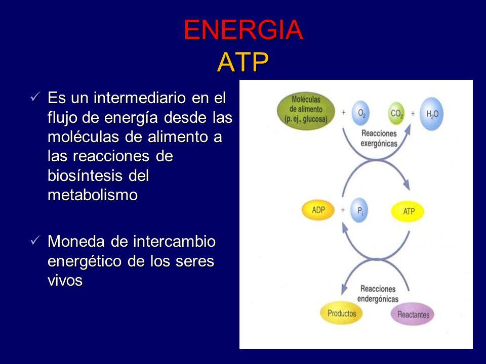 ENERGIA ATPEs un intermediario en el flujo de energía desde las moléculas de alimento a las reacciones de biosíntesis del metabolismo.