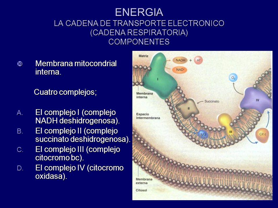 ENERGIA LA CADENA DE TRANSPORTE ELECTRONICO (CADENA RESPIRATORIA) COMPONENTES