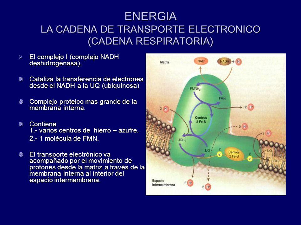 ENERGIA LA CADENA DE TRANSPORTE ELECTRONICO (CADENA RESPIRATORIA)