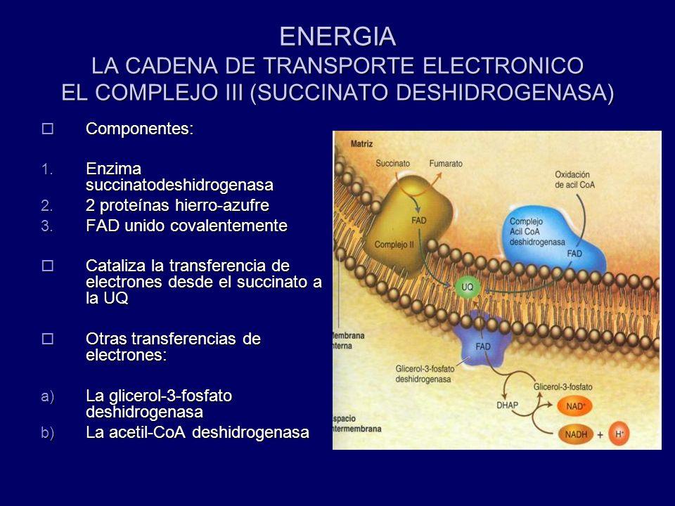 ENERGIA LA CADENA DE TRANSPORTE ELECTRONICO EL COMPLEJO III (SUCCINATO DESHIDROGENASA)