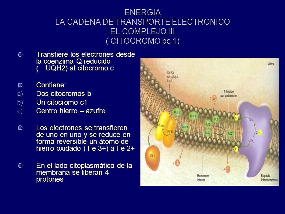 ENERGIA LA CADENA DE TRANSPORTE ELECTRONICO EL COMPLEJO III ( CITOCROMO bc 1)