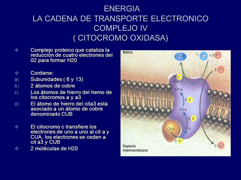 ENERGIA LA CADENA DE TRANSPORTE ELECTRONICO COMPLEJO IV ( CITOCROMO OXIDASA)