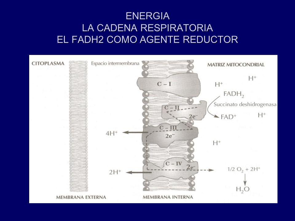 ENERGIA LA CADENA RESPIRATORIA EL FADH2 COMO AGENTE REDUCTOR