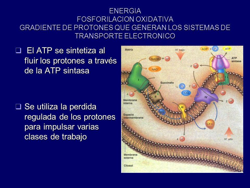 El ATP se sintetiza al fluir los protones a través de la ATP sintasa
