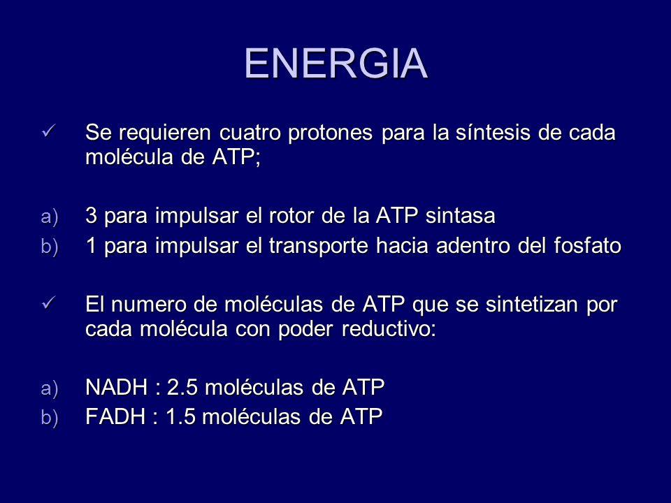 ENERGIASe requieren cuatro protones para la síntesis de cada molécula de ATP; 3 para impulsar el rotor de la ATP sintasa.