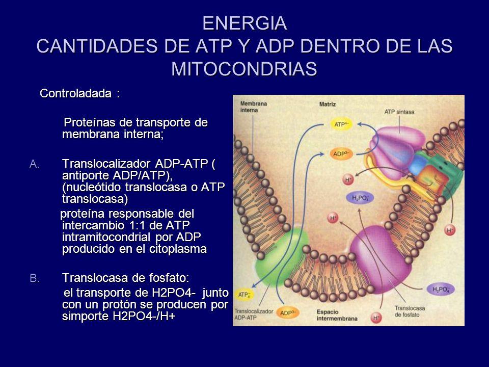 ENERGIA CANTIDADES DE ATP Y ADP DENTRO DE LAS MITOCONDRIAS