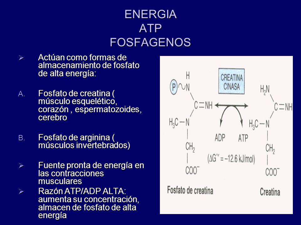 ENERGIA ATP FOSFAGENOS