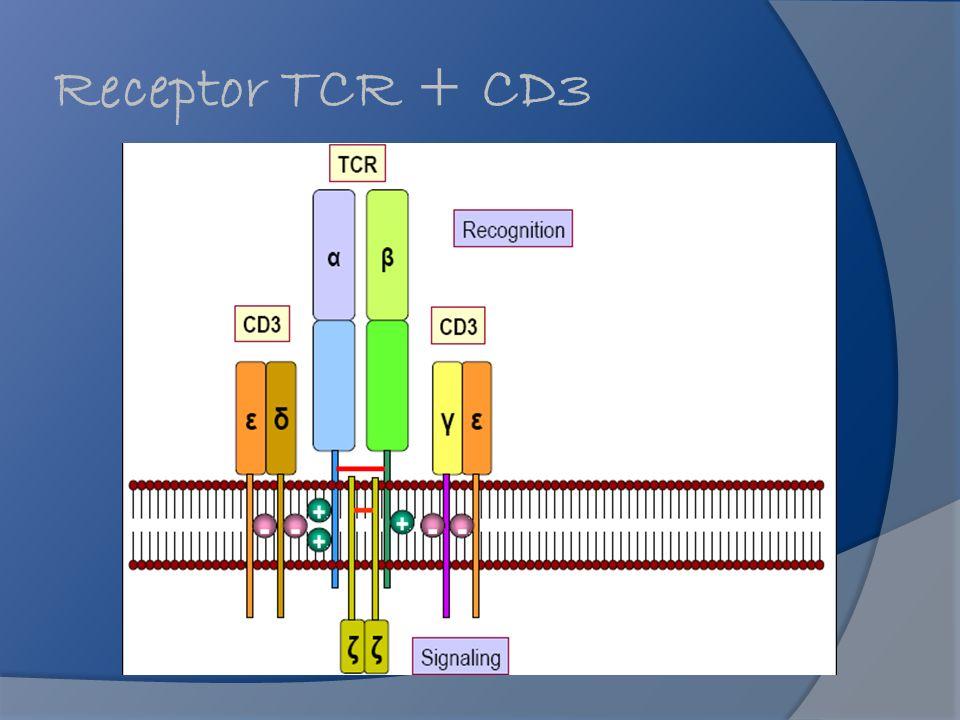 Receptor TCR + CD3