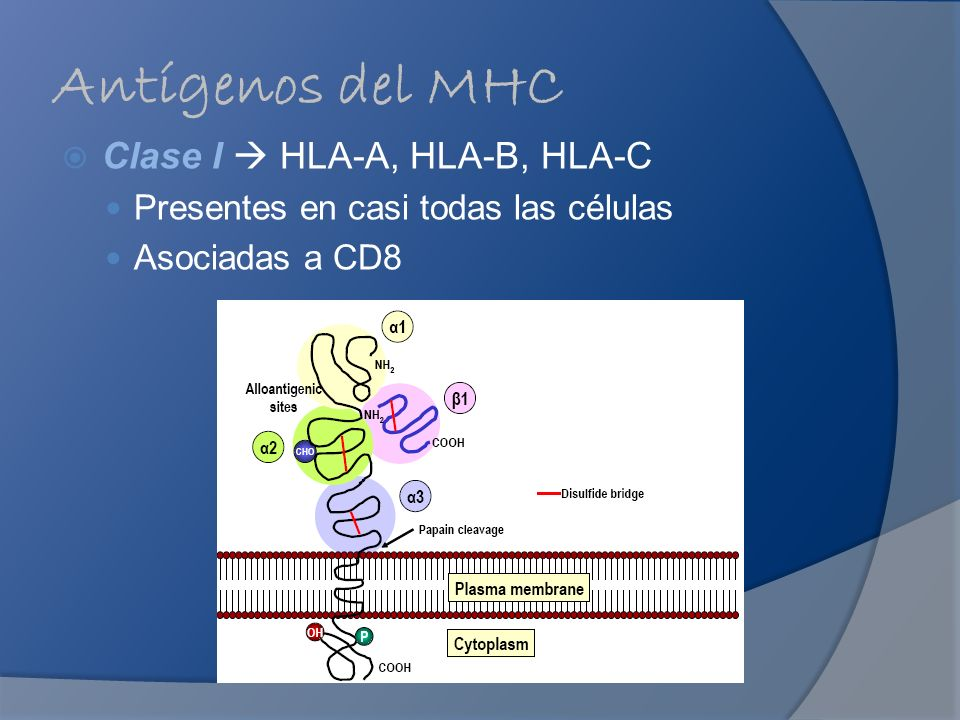 Antígenos del MHC Clase I  HLA-A, HLA-B, HLA-C
