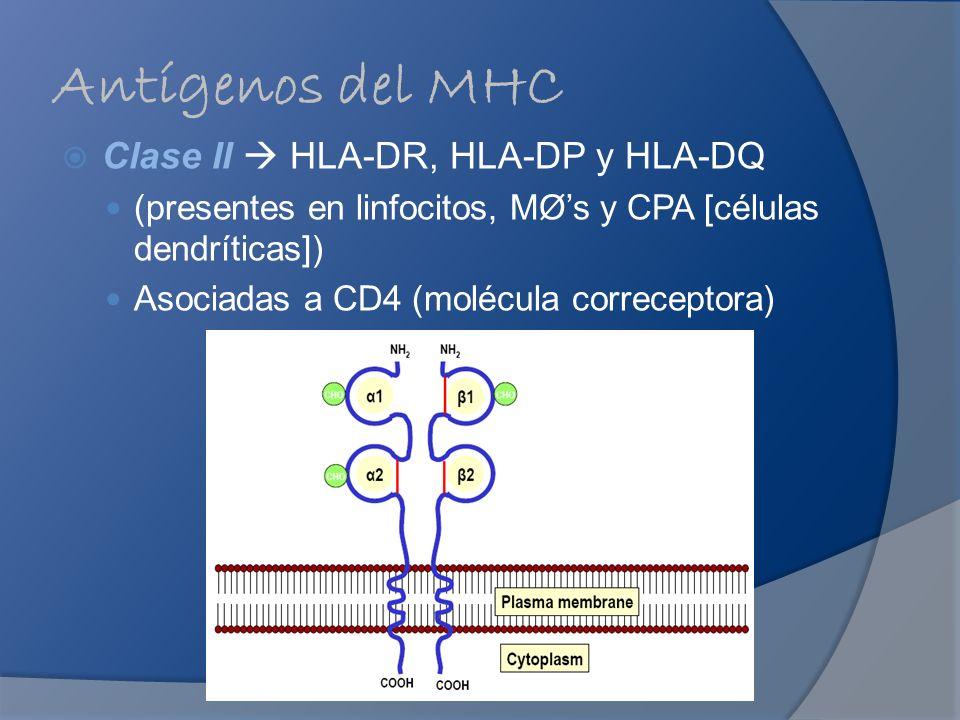 Antígenos del MHC Clase II  HLA-DR, HLA-DP y HLA-DQ