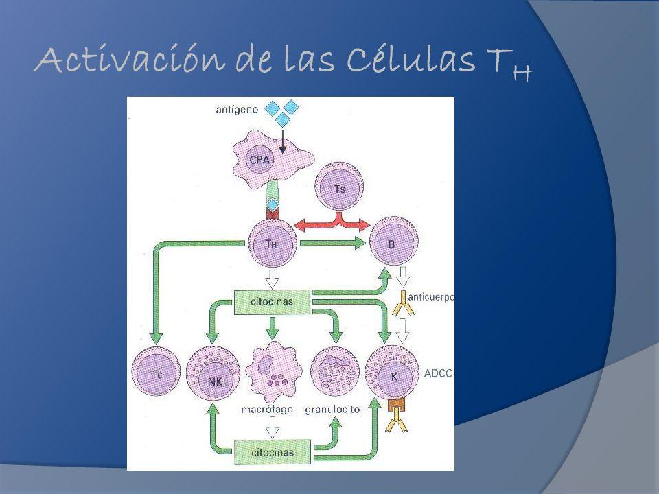 Activación de las Células TH
