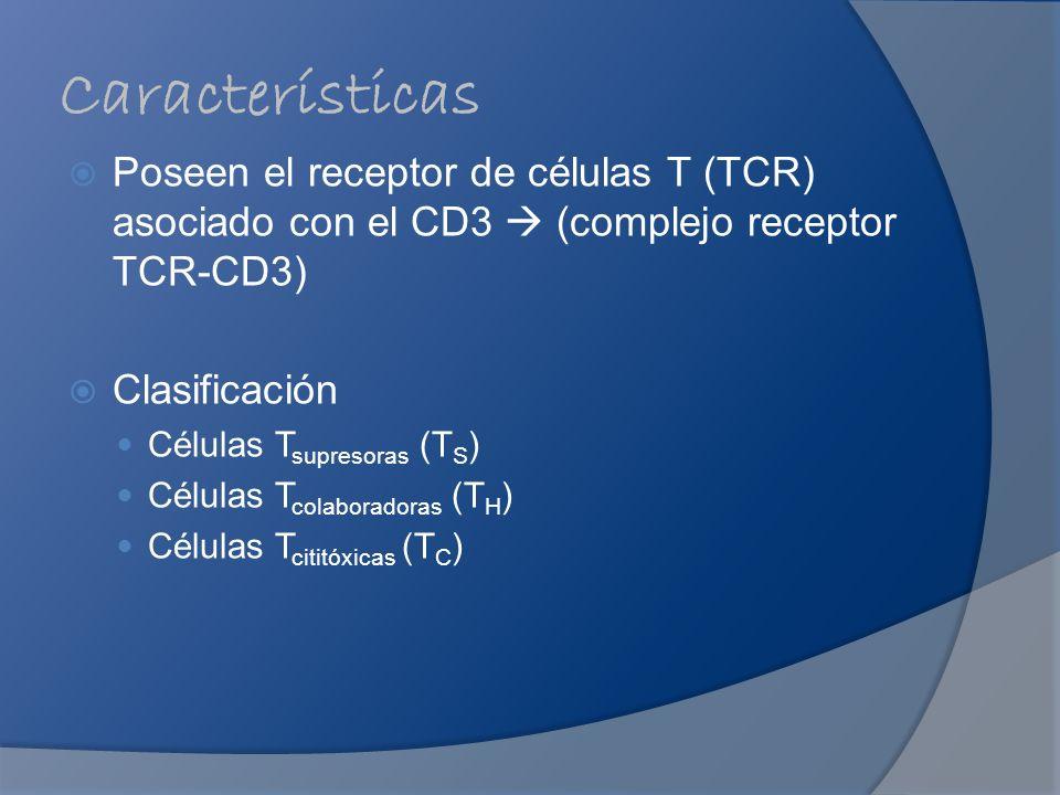 Características Poseen el receptor de células T (TCR) asociado con el CD3  (complejo receptor TCR-CD3)
