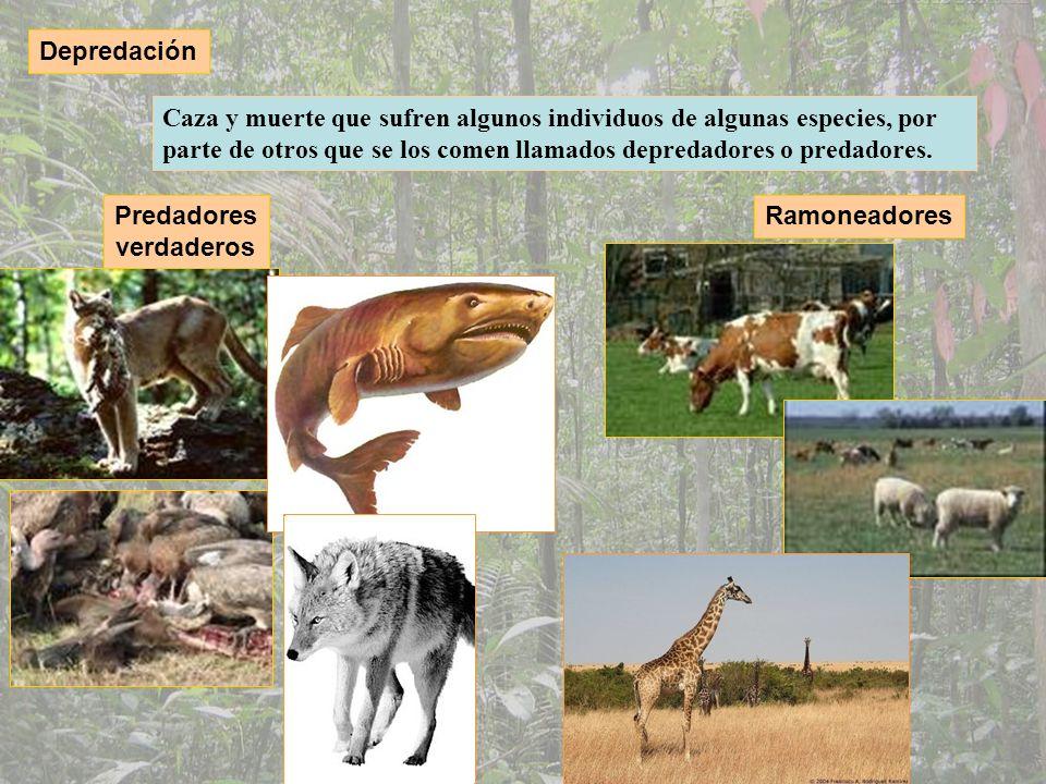 Depredación Caza y muerte que sufren algunos individuos de algunas especies, por parte de otros que se los comen llamados depredadores o predadores.
